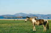 Horse in the nature reserve of Lake Baikal — Stock Photo