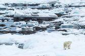 Arctic spring in Spitsbergen.  Polar bear in the area fjord Hornsund. — Stock Photo