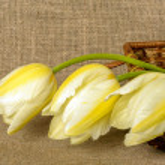 Bouquet of yellow tulips on burlap background — Stock Photo #72320219
