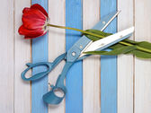 Big blue scissors, a red tulip and colored wooden strips — Stock Photo