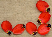 Red petals of a tulip on the background of burlap — Stock Photo