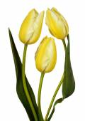Three yellow tulips isolated on white background — Stock Photo