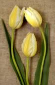 Bouquet of yellow tulips on burlap background — Stock Photo