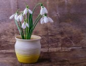 Bouquet of snowdrops in a clay pot — Stock Photo