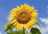 Sonnenblume auf Hintergrund des blauen Himmels — Stockfoto