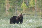 Brown bear going and watching — Stock Photo