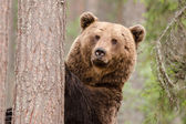 Brown bear staying and watching — Stock Photo