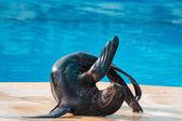 Sea lion to tumble — Stock Photo