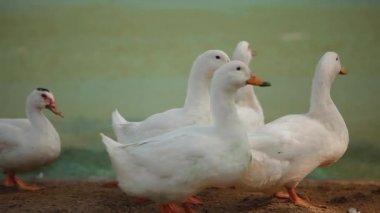 White Ducks with Orange Beaks Walk Along The Beach — Stock Video