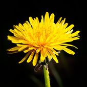 Dandelion (taraxacum officinale) flower head — Stock Photo