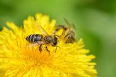 Bees dandelion — Stock Photo