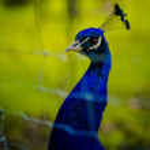 Peacock — Stock Photo #72606361