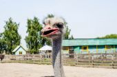 Ostrich head close up at the ostrich farm. Ostrich or type is on — Stock Photo