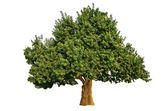 Big Tree Isolated — Stock Photo