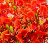Red flower peacock — Stock Photo