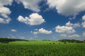 Field of spring green wheat — Stock Photo