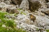 Wild animal - yellow-bellied marmot — Stock Photo