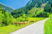 Alpine landscape road, green pastures and cows — Stock Photo