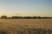 Field at sunset showing the golden grains — Stock Photo