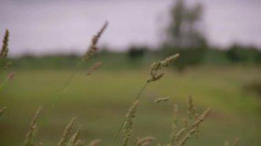 Forest grass field focus blur — Stock Video