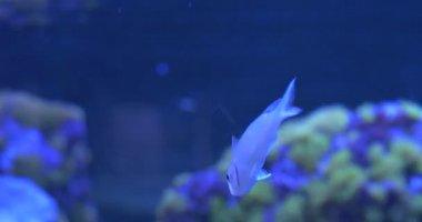 Green Chromis, Chromis Viridis Upon the Corals — Stock Video