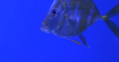 Selene Vomer, Fishes Closeup, And Trachinotus Blochii, Floating, Aquarium — Stock Video