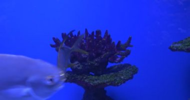 Trachinotus Blochii, Feeding among the Corals, Oceanarium — Stok video