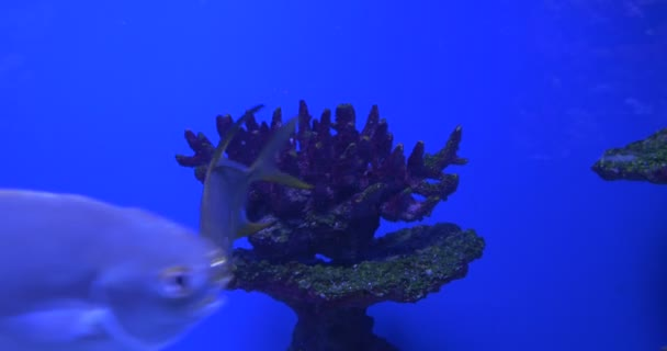 Trachinotus Blochii, Feeding among the Corals, Oceanarium — Vídeo de stock