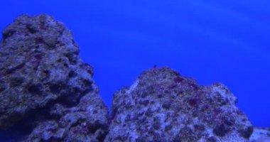 Aluterus Scriptus, Scrawled Filefish, Broomtail Filefish, and Blue-Face Angel, Euxiphipops Xanthometapon, Swimming, Stones — Stock Video