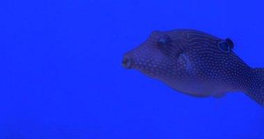 Blue-Face Angel, Euxiphipops Xanthometapon, Fish Closeup, Aluterus Scriptus, Broomtail Filefish, Scribbled Leatherjacket — Stock Video