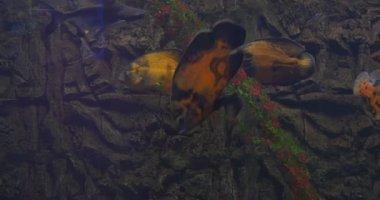 Astronotus Ocellatus, Oscar, And Small Sharks, Stony Background — Stock Video