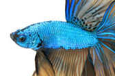 Close-up detail of Siamese fighting fish. — Stock Photo