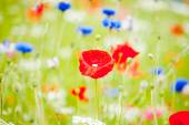 Wildflowers growing in a profusion of color in field with bright red poppies standing out from the crowd. — Stock Photo