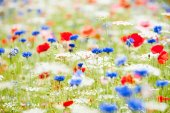 Wild flowers, multi-colored. — Stock Photo