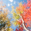Zoom motion blur effect Birch trees in fall, Maine. — Stock Photo #75246721