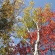 Birch trees in fall, Maine. — Stock Photo #75246725