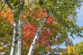 White bark of silver birch reaching into the tree top and bright colors of fall foliage. — Stockfoto