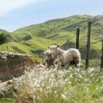 Sheep farming, New Zealand. — Stock Photo #77895646