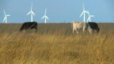 Cows grazing in field — Stock Video
