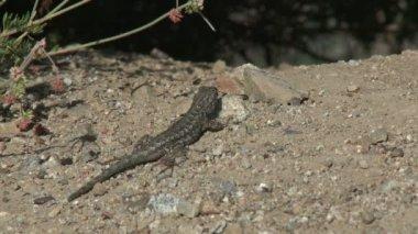 A gecko crawls across a mound of dirt — Stock Video