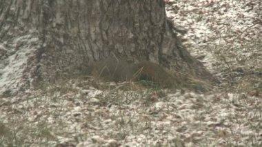 松鼠跳通过后院 — 图库视频影像