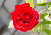 One beautiful red rose in a garden — Stock Photo