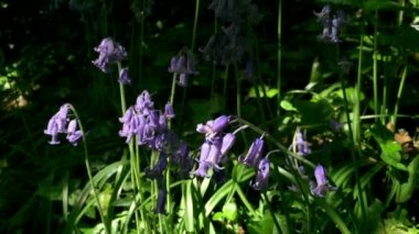 Bluebells in the English Countryside — ストックビデオ