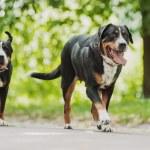 Greater Swiss Mountain Dog — Stock Photo #78069732