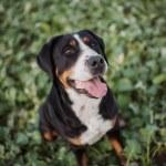 Greater Swiss Mountain Dog — Stock Photo #78070120