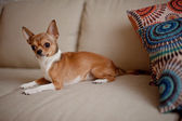 Little dog on the couch — Stock Photo