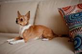 Dog on the couch with colored cushion — Stock Photo
