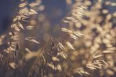 Grass spikelet on the field at sunset — Stock Photo