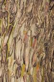 Colorful abstract pattern of Eucalyptus tree bark — Stock Photo