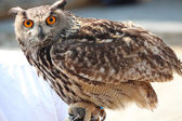 Close up portait of a owl — Stock Photo